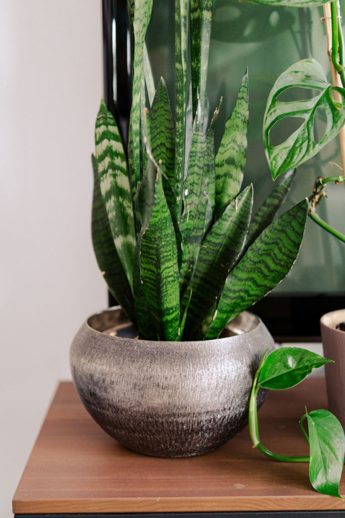 easy_indoor_plant_snake_plant