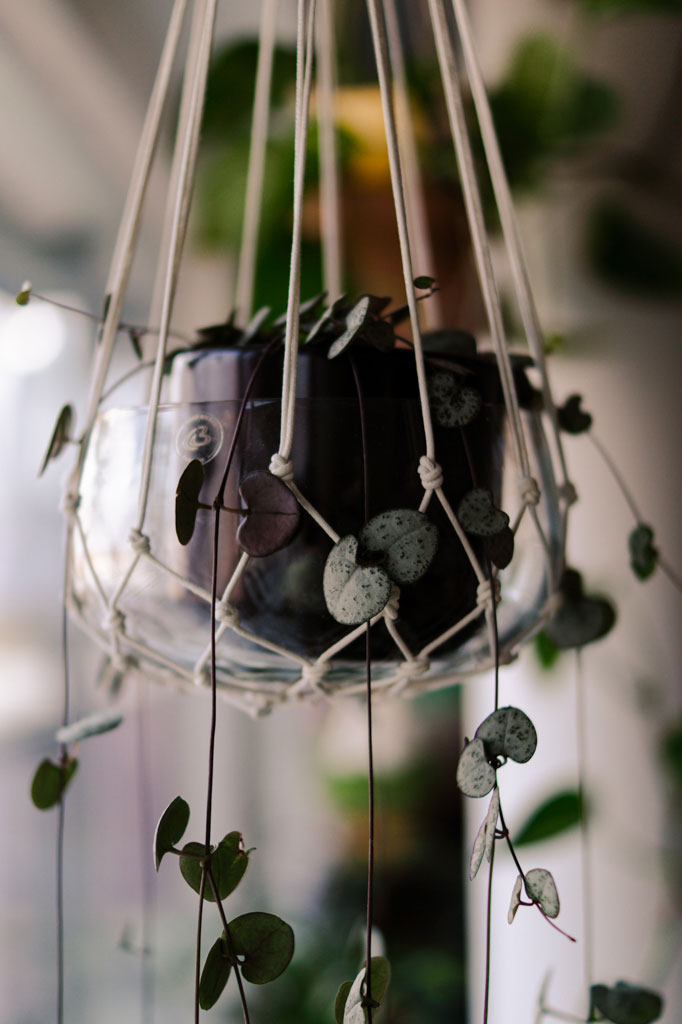 easy_indoor_plant_string_of_hearts