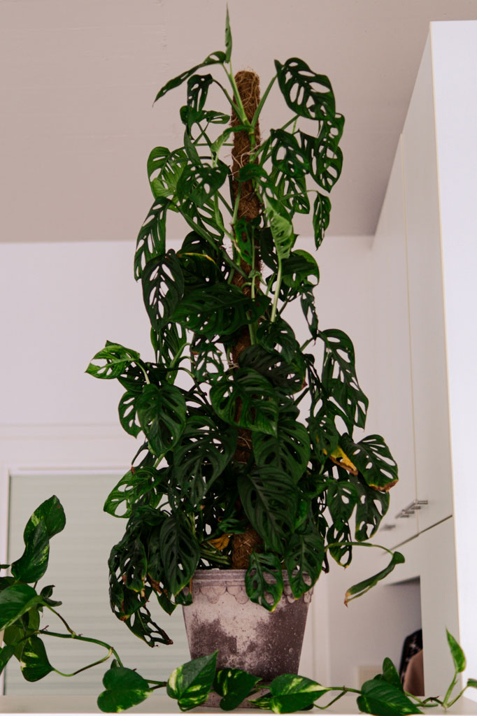 easy_plant_for_beginners_monstera
