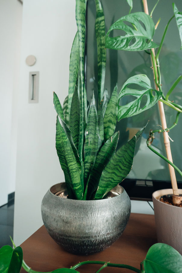 best_indoor_plants_snake_plant