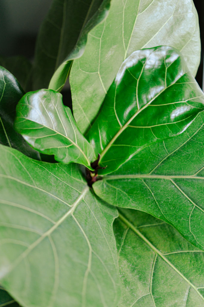 popular_indoor_plant_fiddle_leaf_fig