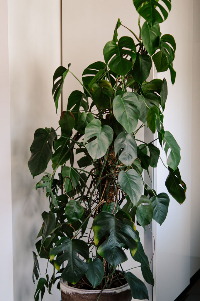 popular_indoor_plants_monstera