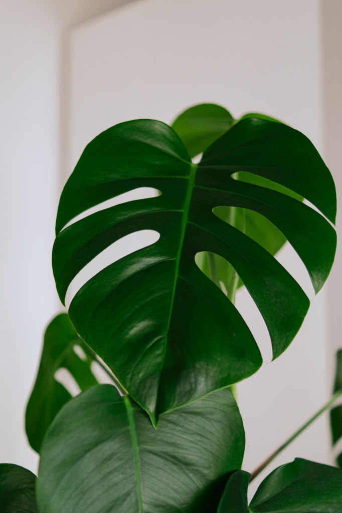 popular_indoor_plants_monstera_1