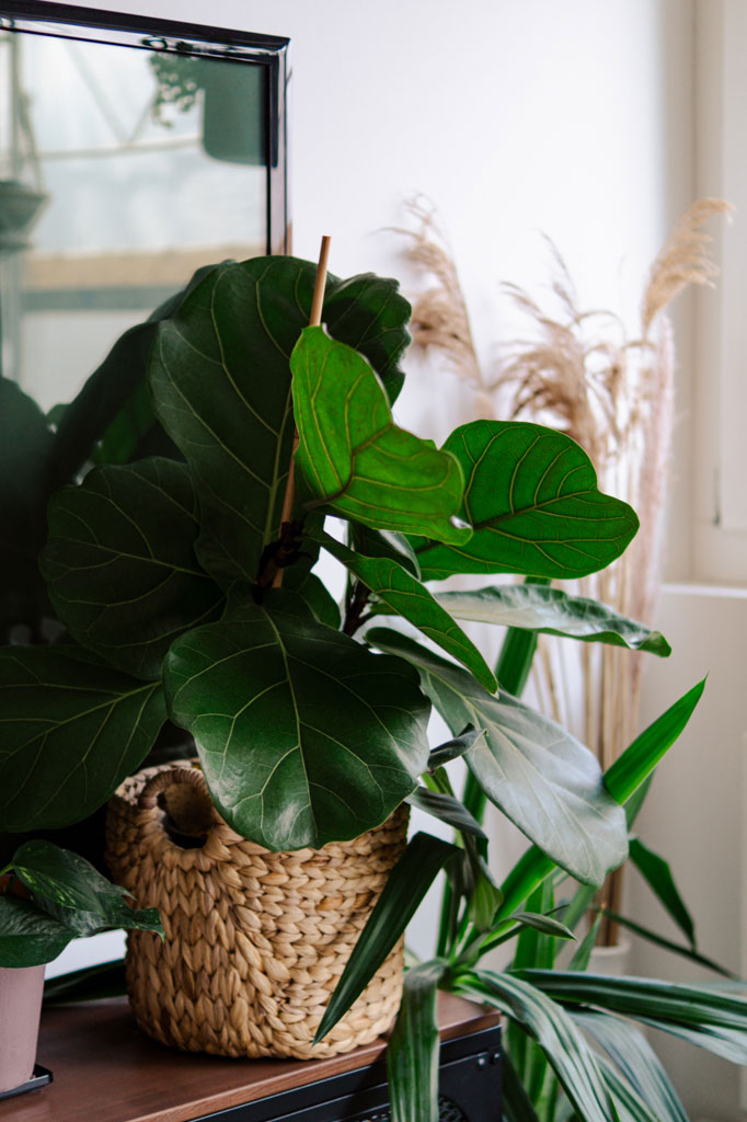 popular_plant_fiddle_fig_leaf_plant