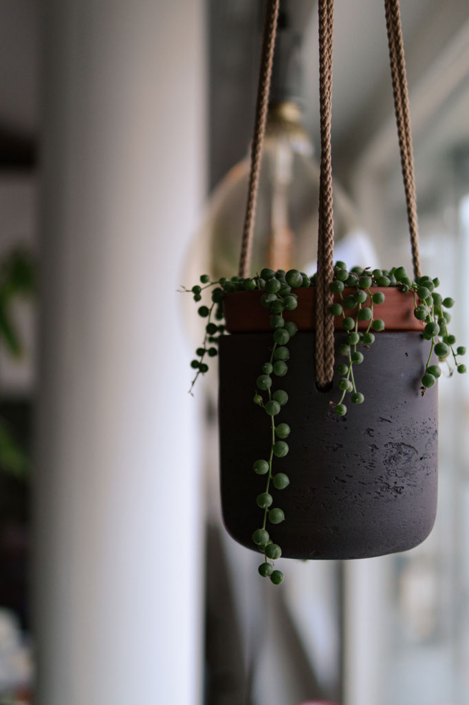 pretty_plants_for_your_home_string_of_pearls