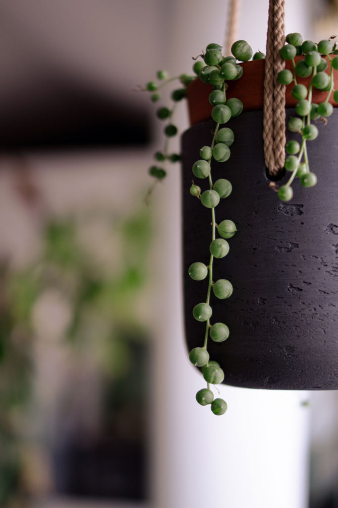 pretty_plants_string_of_pearls